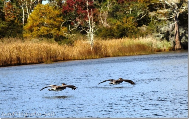 Pelicans low