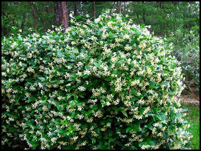 confed jasmine2