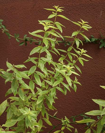 Lemoncinia