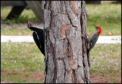 Red-Bellied  and Pileated Woodpecker