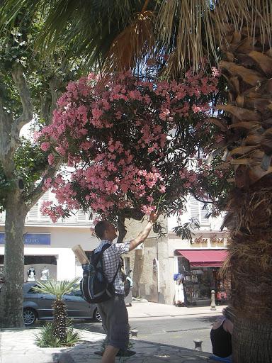 Rosa buske med snusende turist
