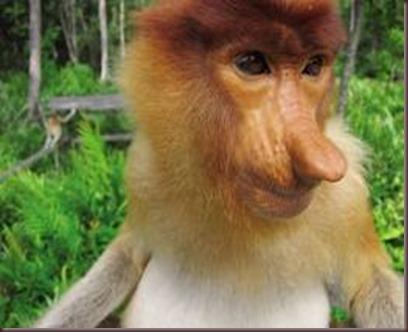 Amazing Pictures of Animals photo Nature exotic funny incredibel Zoo Proboscis monkey, long-nosed monkey, mammalia.Alex (4)