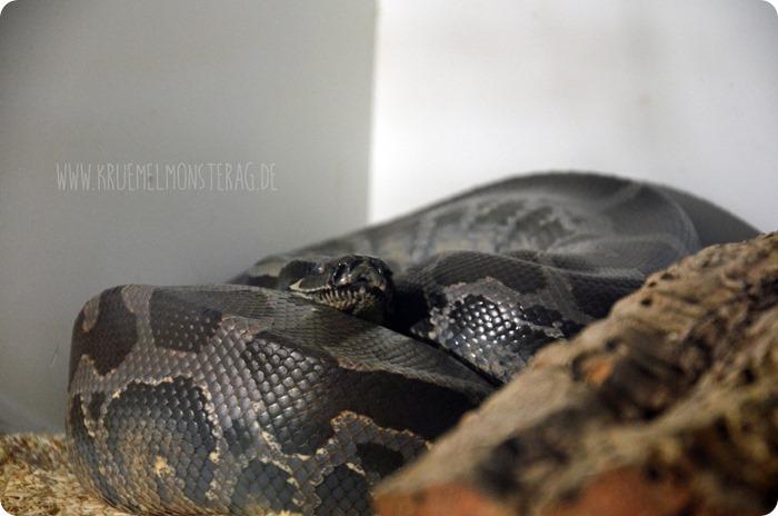 Python (11) von PB Snakes 311214
