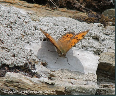 55-wall-butterfly