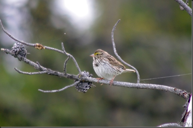 Savannah Sparrow fledgling