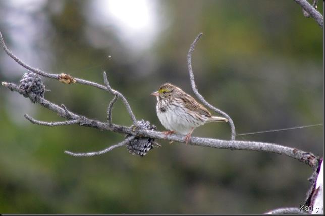 Savannah Sparrow fledgling