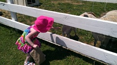 Bella 7.18.13 Plymouth farm feeding sheep