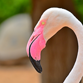 Flamingo, Al Ain Zoo, UAE by Mohamed Nasser - Animals Birds ( life, al ain, zoo, uae, flamingo, birds )