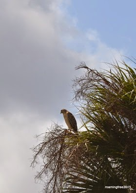 some type of hawk, we think
