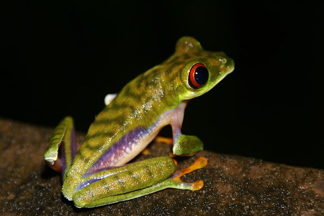 A red-eyed tree frog (Agalychnnis saltator) in la Selva Biological Research Station, Costa Rica