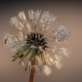 Icey Dew Drops by Laura Buchanan - Novices Only Macro ( macro, lkbuchanan, dandelion, ice, nikon d7100, dew drops, bokeh )
