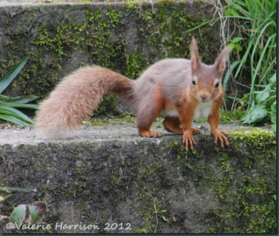 3 red-squirrel-2