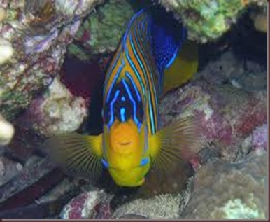 Amazing Pictures of Animals, photo Nature, exotic, funny, incredibel Zoo, Regal angelfish, Alex (4)
