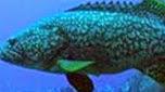 Réunion-Mayotte mérou géant