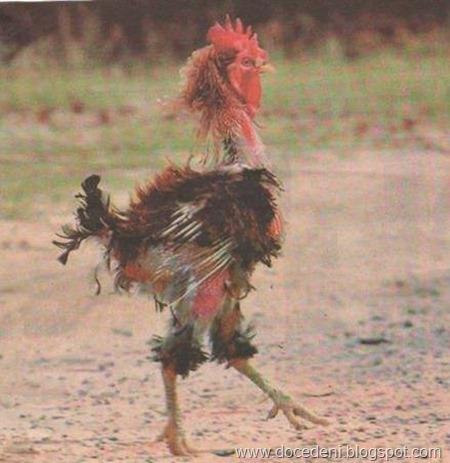 galinha estropiada