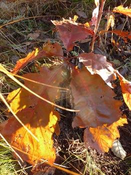 034 korr Quercus rubra Daniel Grankvist