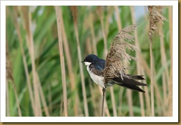 b Tree Swallow on Phragmites D7K_2494 August 06, 2011 NIKON D7000