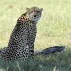 Gepard in Simbabwe © Foto: Marco Penzel | Outback Africa Erlebnisreisen
