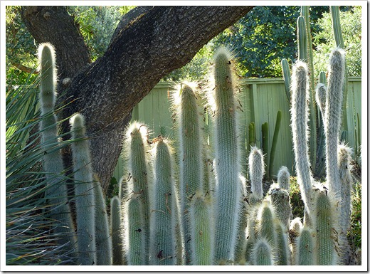 111008_rbg_Cleistocactus-hyalacanthus_03