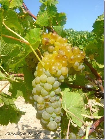 grenache-blanc-vinho-e-delicias