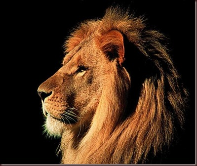 Amazing Animals Pictures Lion  (5)