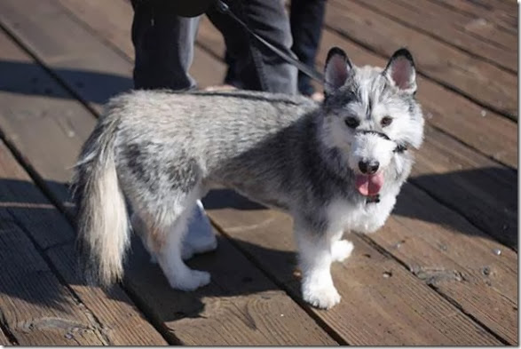 strange-dog-cross-breeds-016