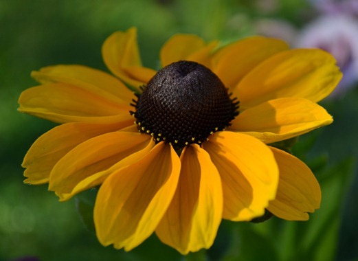 Rudbeckia Toto Gold (dwarf) - coneflower or cone daisy