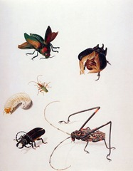 Merian-Maria-Sibylla-Insects-Sun