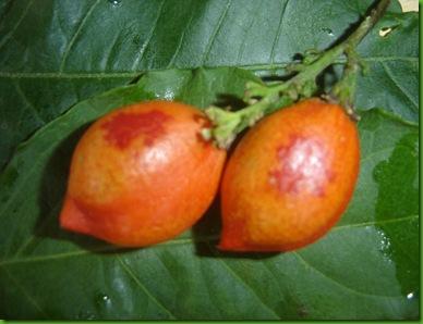 Bunchosia armeniaca (3)