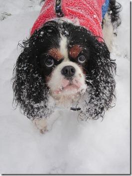Maisie having fun in the snow 021 (768x1024)
