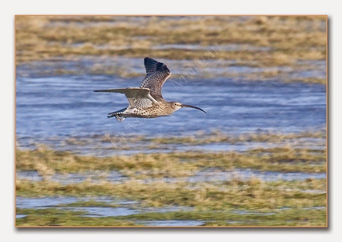 Frampton1 4  Curlew
