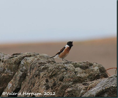 57-stonechat-and-emperor