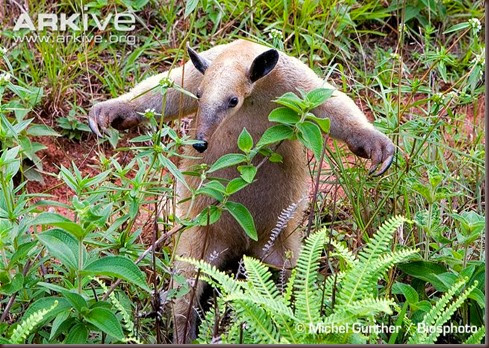 ARKive image GES079816 - Collared anteater