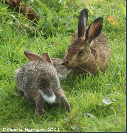 hare-and-rabbit-3