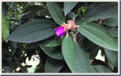 Tibouchina bud, almost open