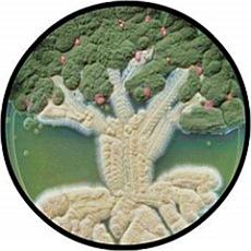 Вековое дерево в чашке Петри