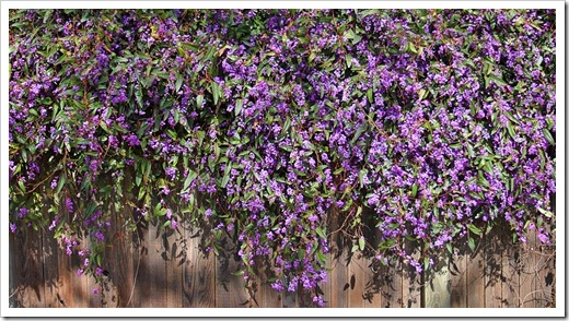 120222_Hardenbergia-violacea