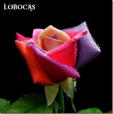 rosa-LoBocAs-5003