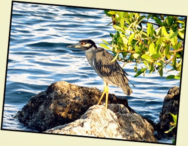 17g - Yellow Crowned Night Heron