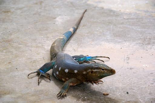 CODODO lizard