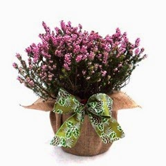 SPRING HEATHER PLANT GIFT- Superb Plant & Flower For Mothers Day,Birthday, Plant Gifts For All Occasions