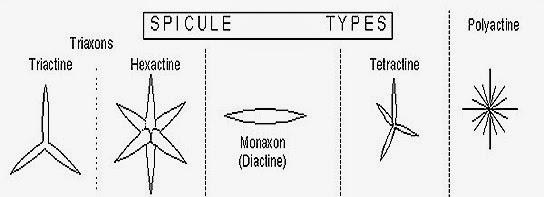 SPICULES-SPONGE-