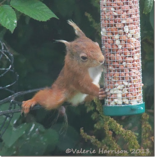 red squirrel injured tail 6