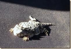 Hotned-Toad-OgilbyRd (1)