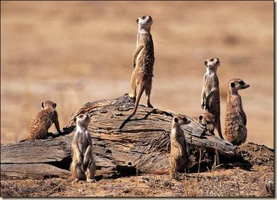 Meerkat-Alert-SFFBloggersWaitingForKingOfThorns