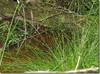 20120706 BHW Carex remota (11a)