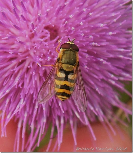 hoverfly-2