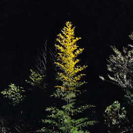 Pine - Campos SP by Marcello Toldi - Nature Up Close Trees & Bushes