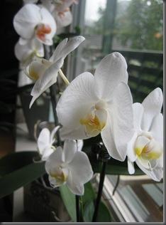 Orkide (2)