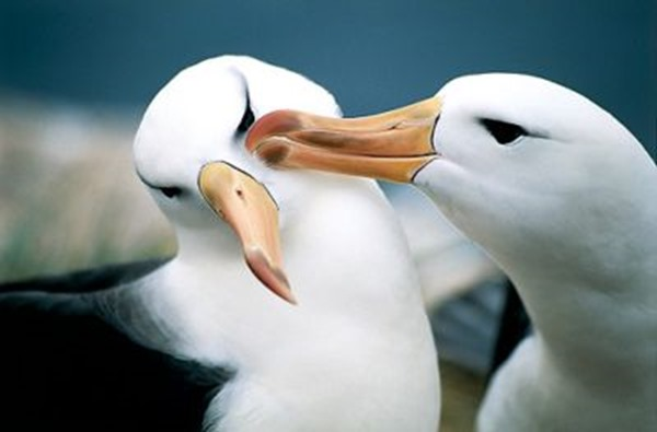albatross-en-peligro-de-extinción